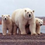 leading polar bears